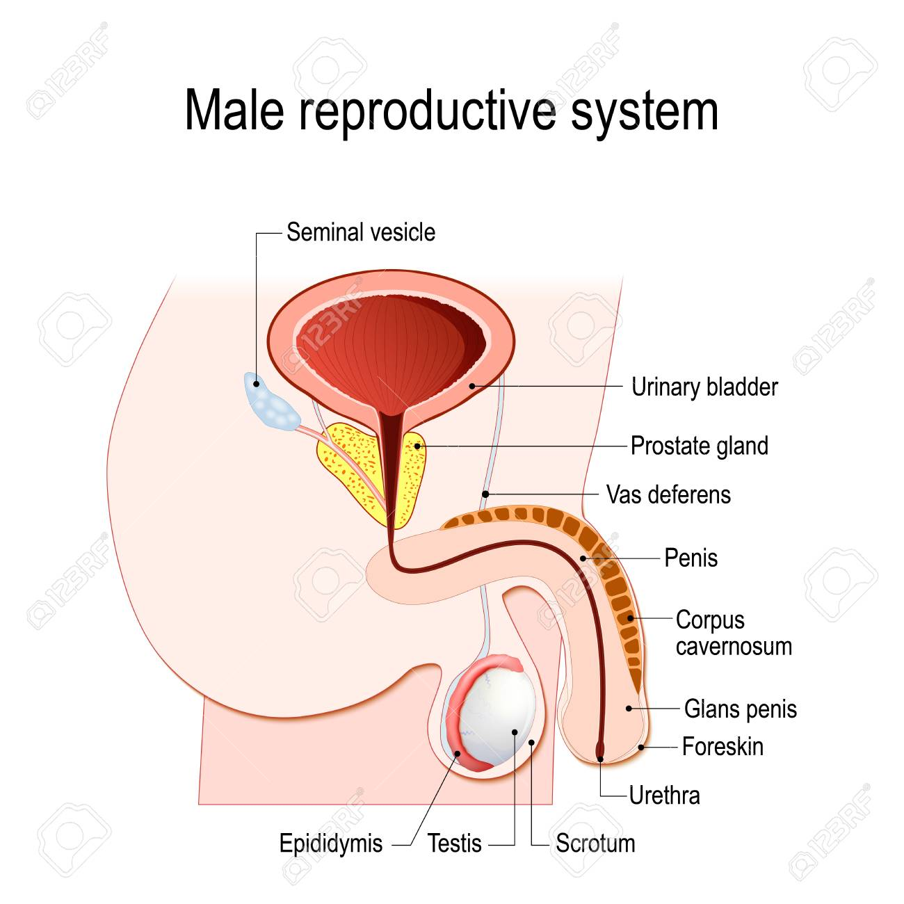 male reproductive system (seminal vesicle, vas deferens, prostate gland,  testicles and epididymis