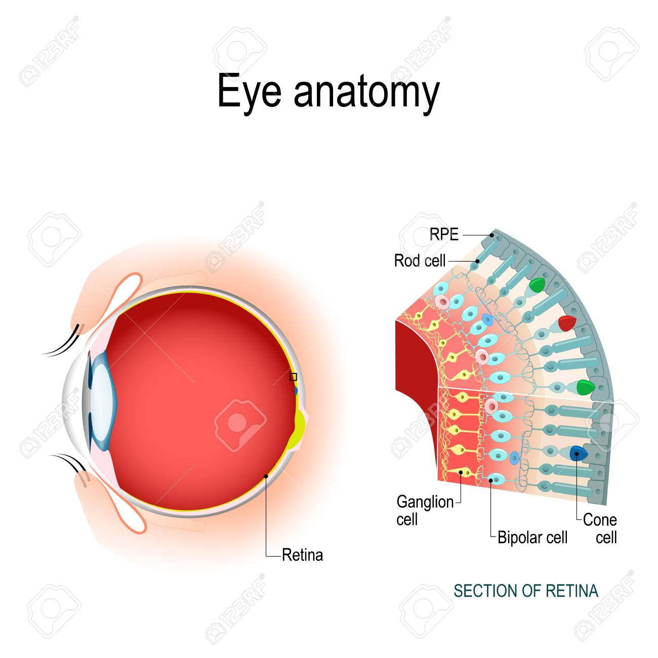 eye anatomy  rod cells and cone cells  the arrangement of retinal cells is  shown