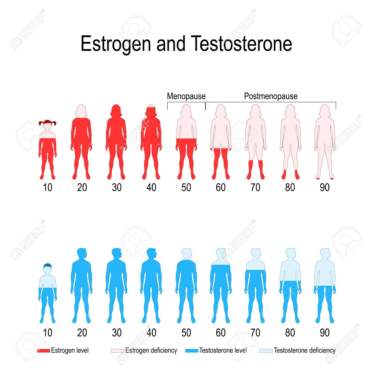 Estrogen and testosterone hormone levels. chart. vector diagram for your design, biological, medical, educational and scientific use. - 119628140