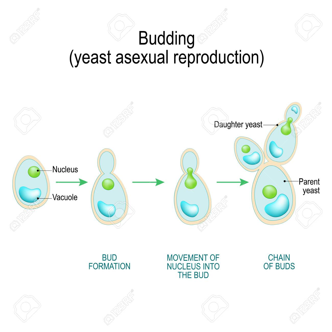 budding  asexual reproduction of yeast cell  cross section of a fungal  hyphae cells (