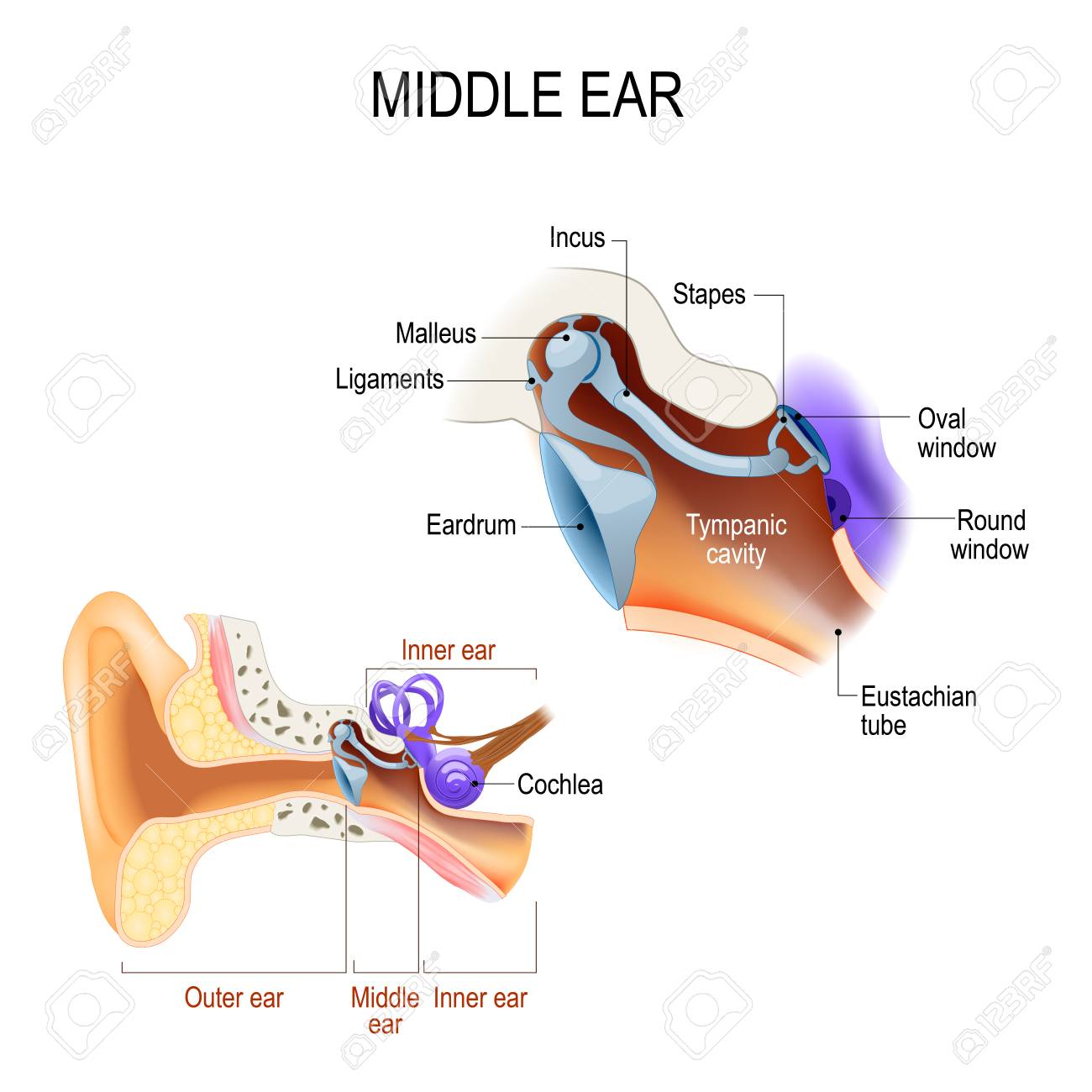 three ossicles: malleus, incus, and stapes (hammer, anvil, and stirrup)   the ossicles directly couple sound energy from the ear drum to the oval  window