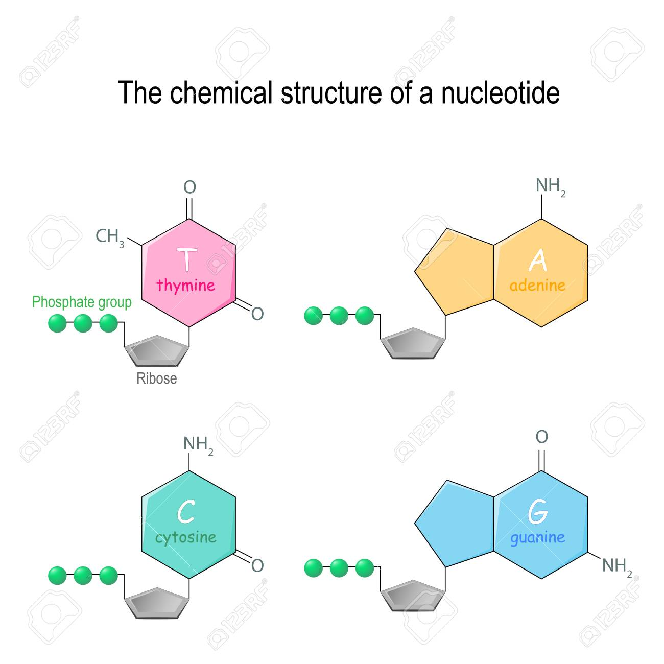 the chemical structure of a nucleotide  four main bases found in dna:  adenine,