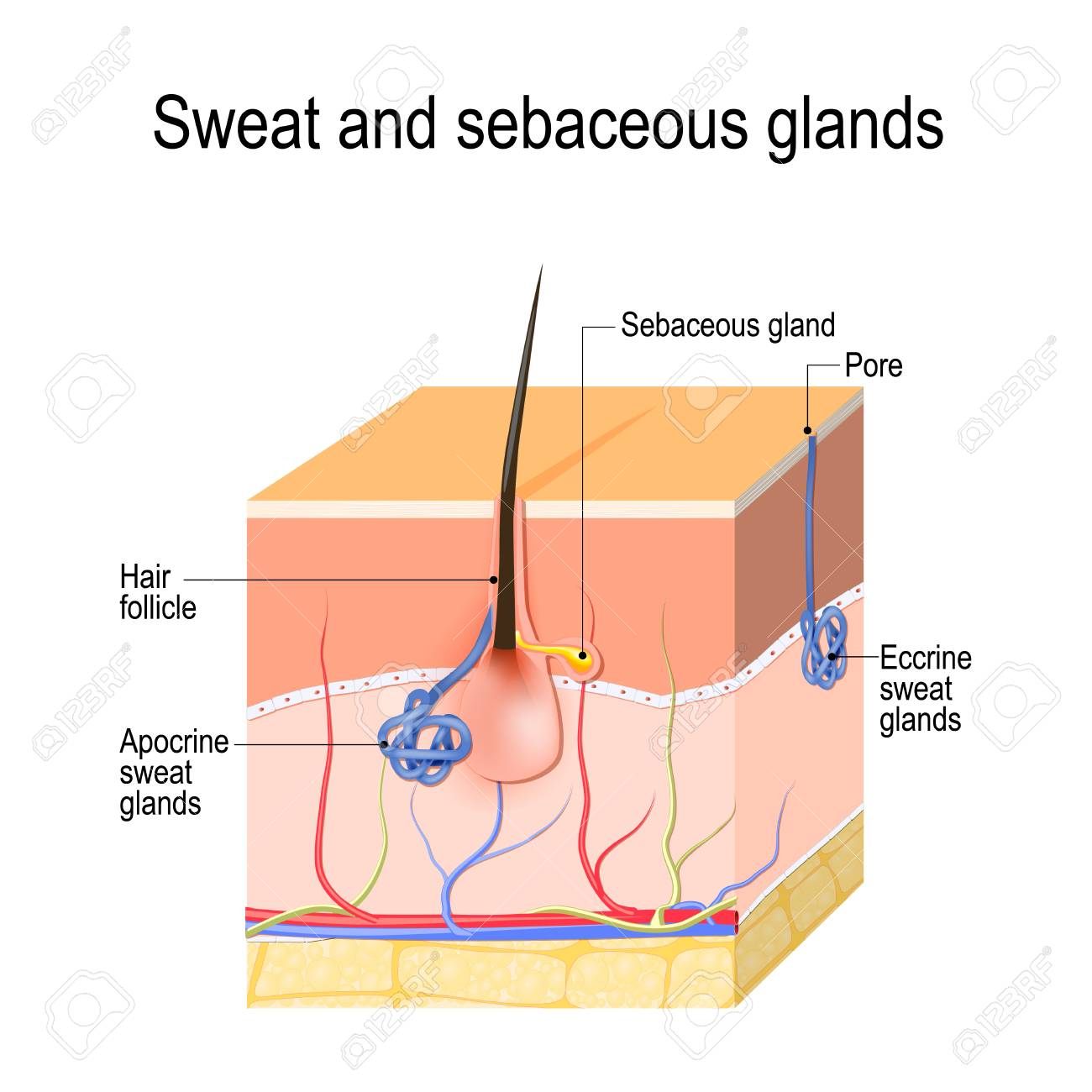 sweat glands (apocrine, eccrine) and sebaceous gland  cross section of the  human