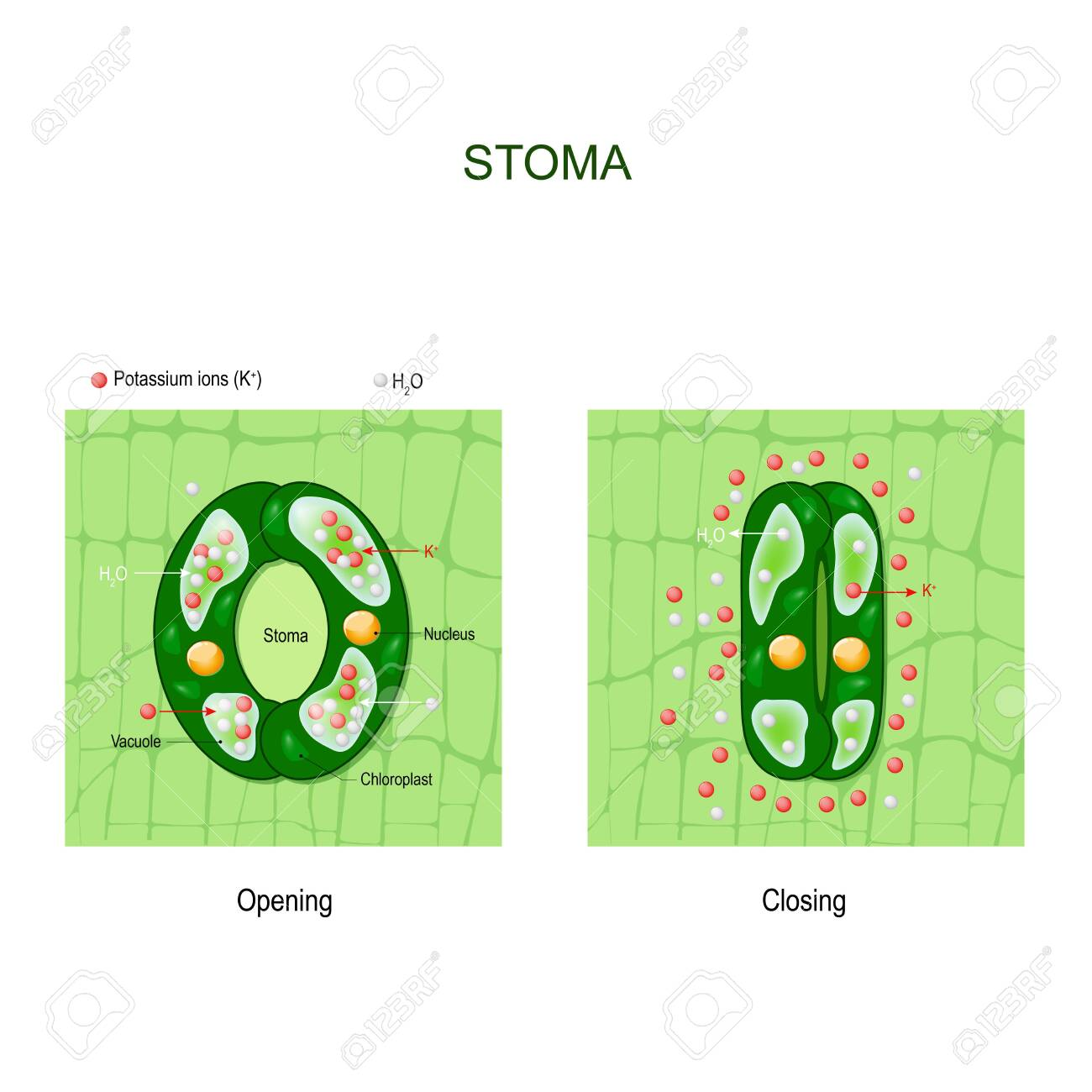 Opening and closing of stoma  anatomy of stomatal complex  Structure