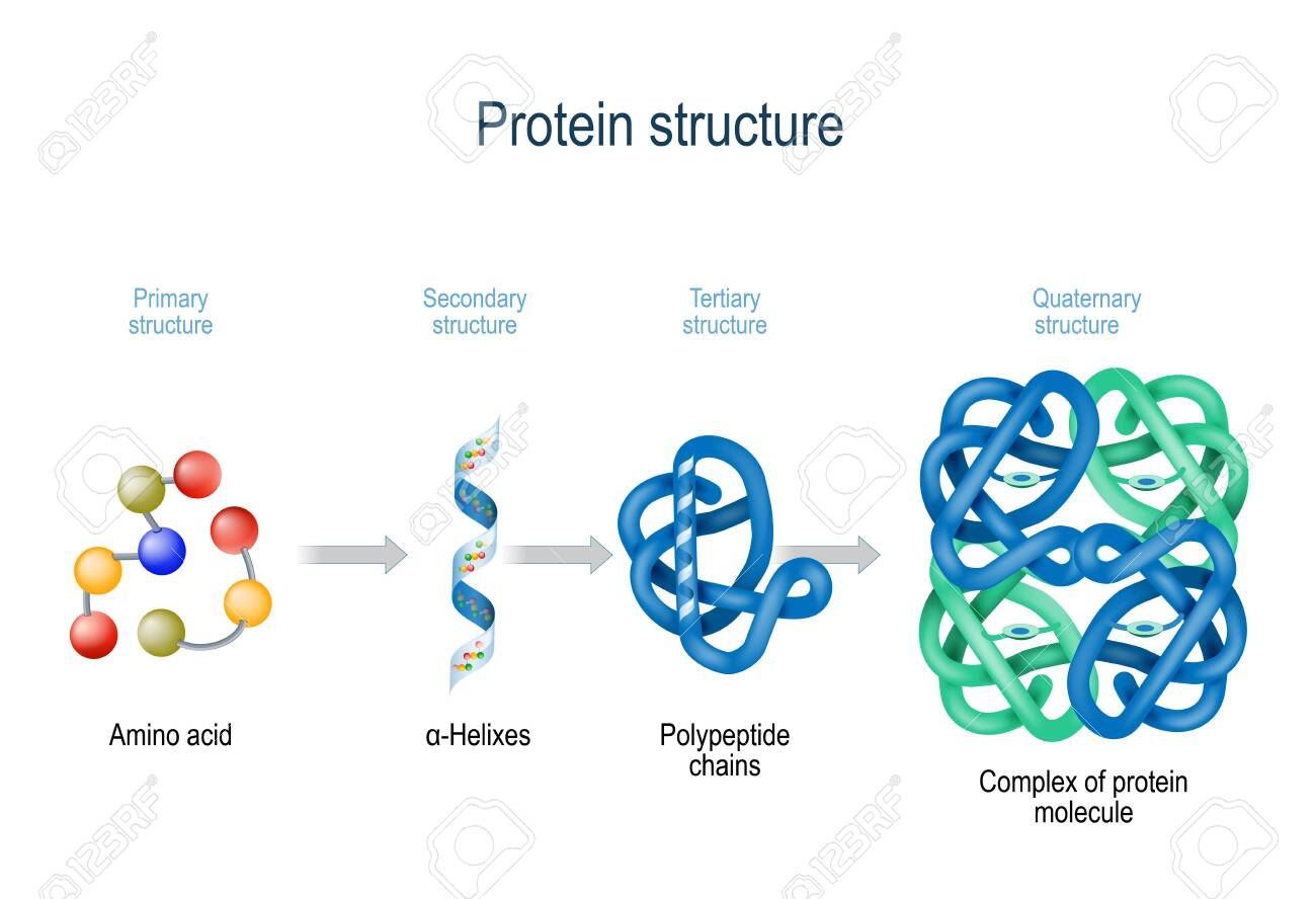 Levels of protein structure from amino acids to Complex of protein molecule. Protein is a polymer(polypeptide) that formed from sequences of amino acids. Levels of protein structure: Primary, Secondary, Tertiary, and Quaternary - 125585686