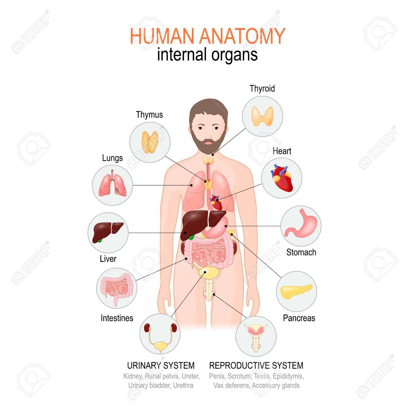 Anatomy Of Human Body Internal Organs Of Male Vector Diagram