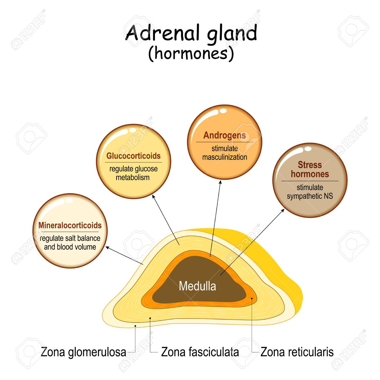 Hormones Of The Adrenal Gland Labeled Scheme With All Hormones