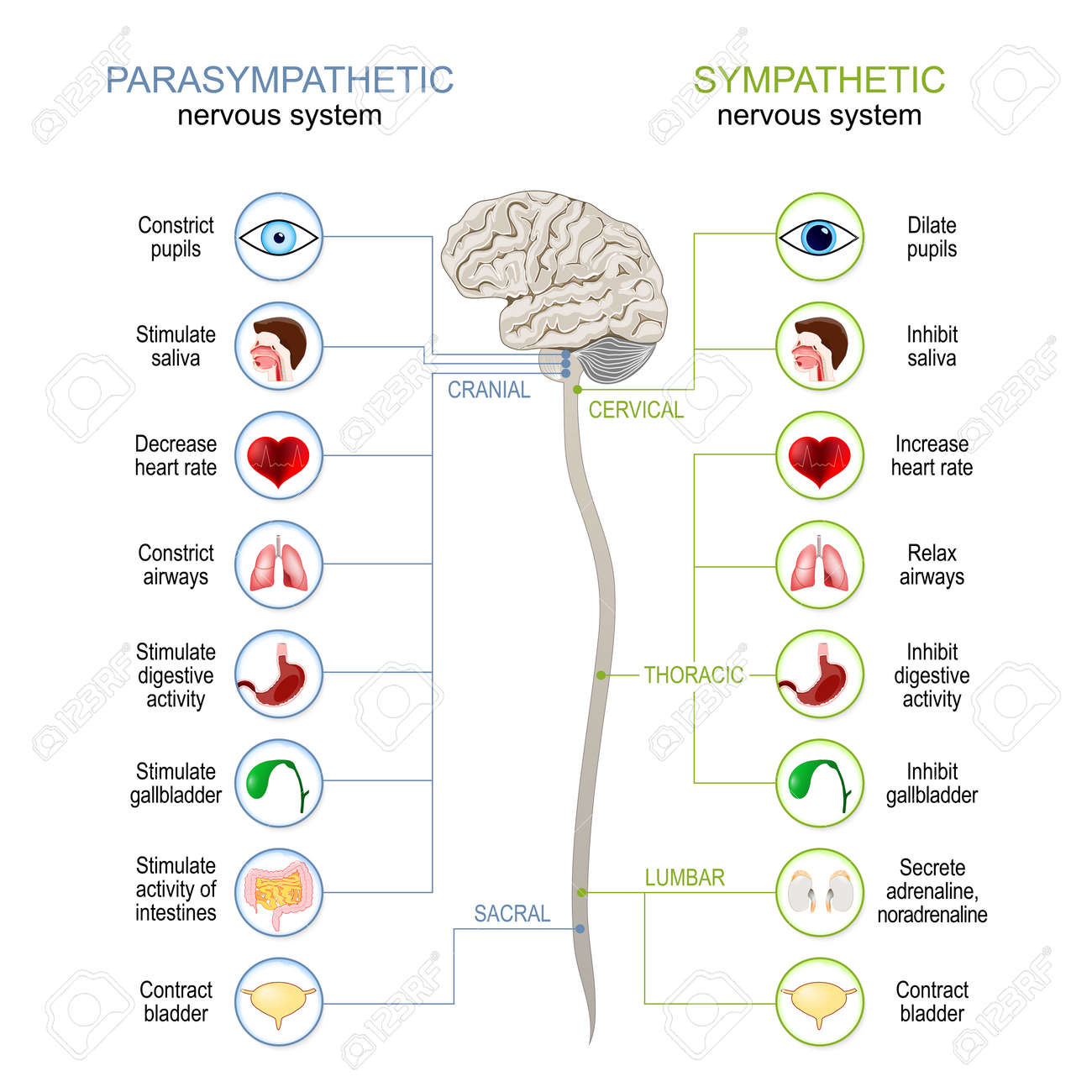 Sympathetic And Parasympathetic Nervous System. Difference. diagram with connected inner organs, brain and spinal cord. vector illustration - 169942317