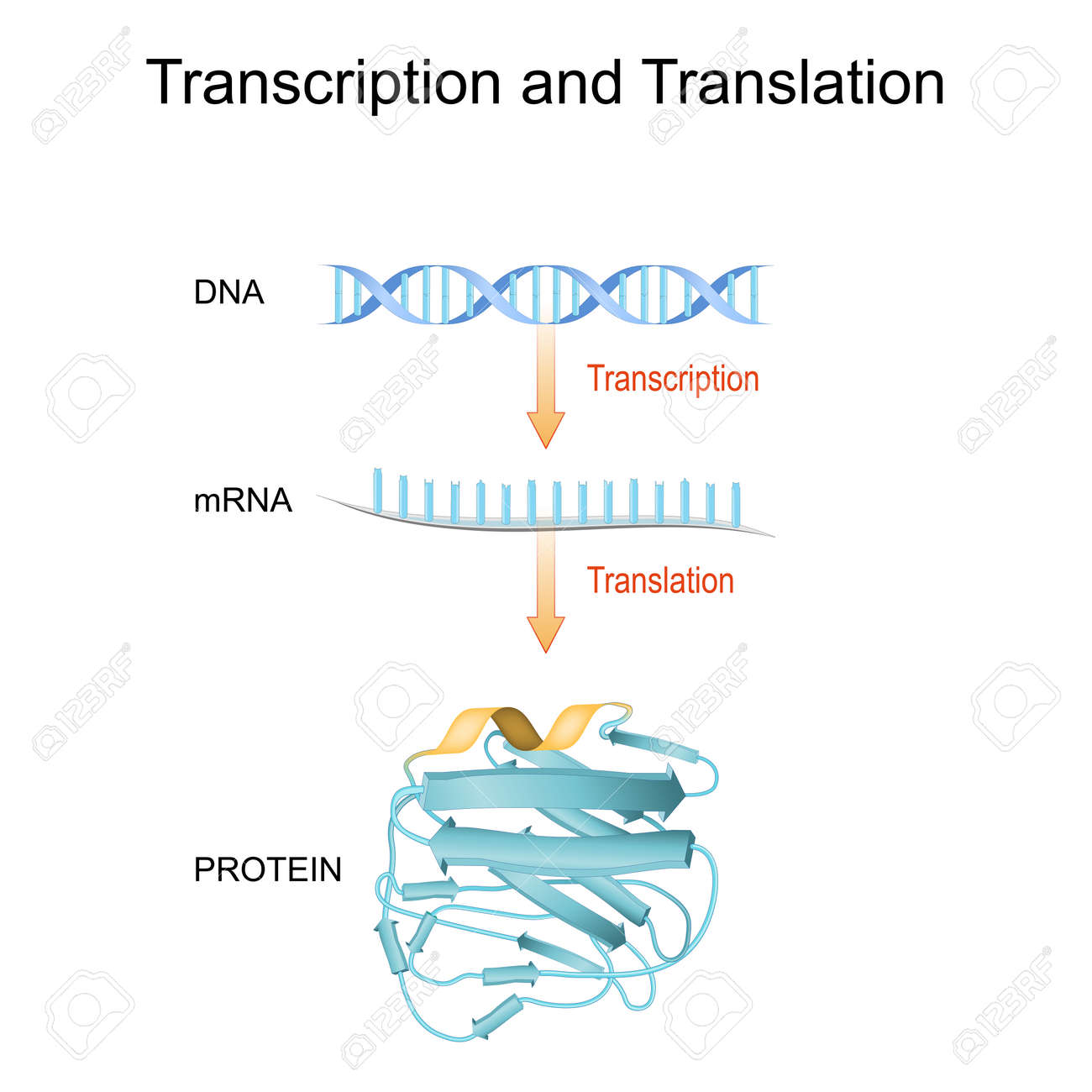 DNA, RNA, mRNA and Protein synthesis. Difference between Transcription and Translation. Biological functions of DNA. Genes and genomes. Genetic code. - 170310876