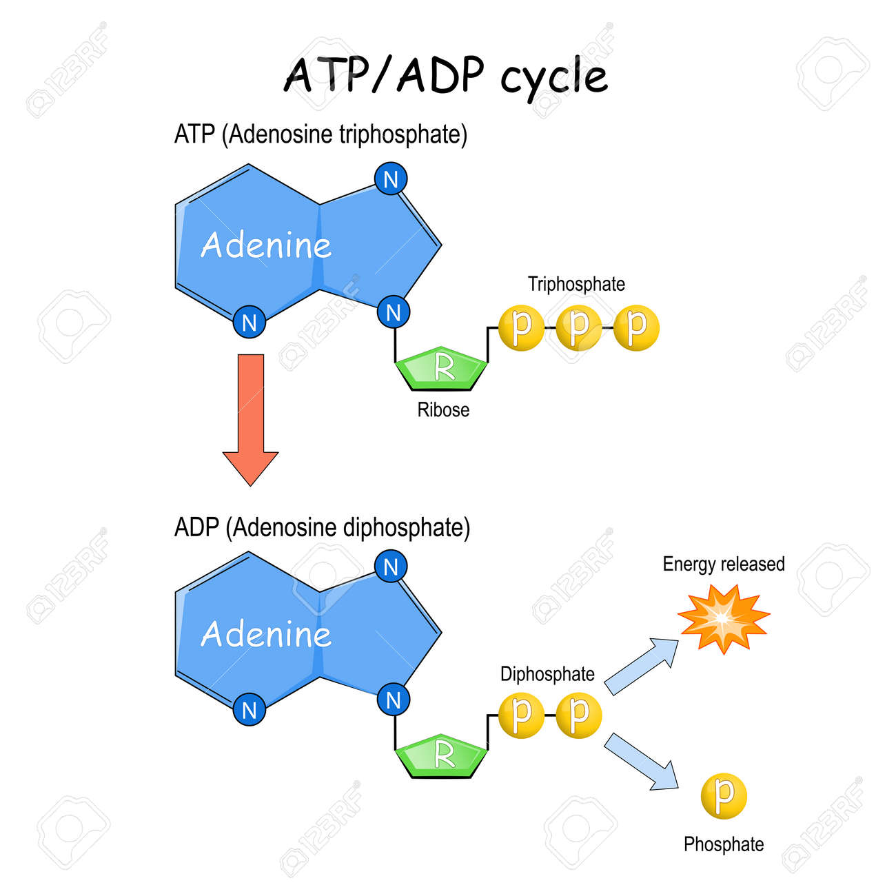 ATP ADP cycle. Vector illustration. Poster - 171053515