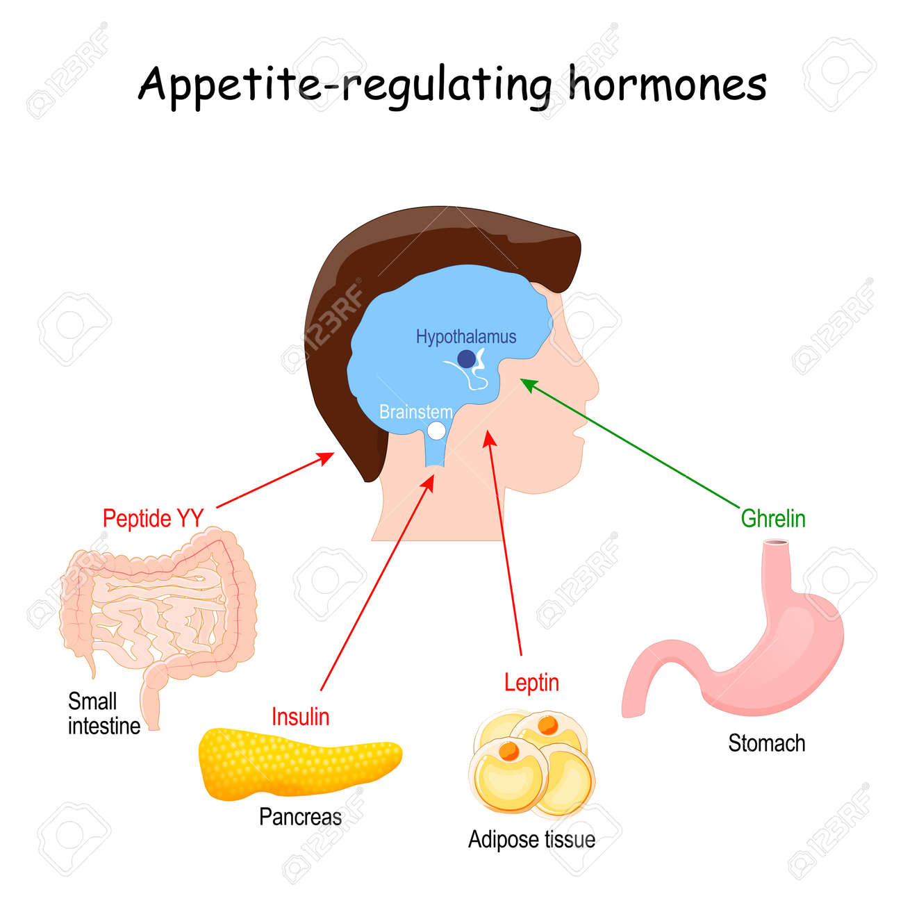 Leptin, ghrelin, insulin and Peptide YY. hormones that regulate metabolism, appetite, satiety and hunger. vector illustration - 170964339