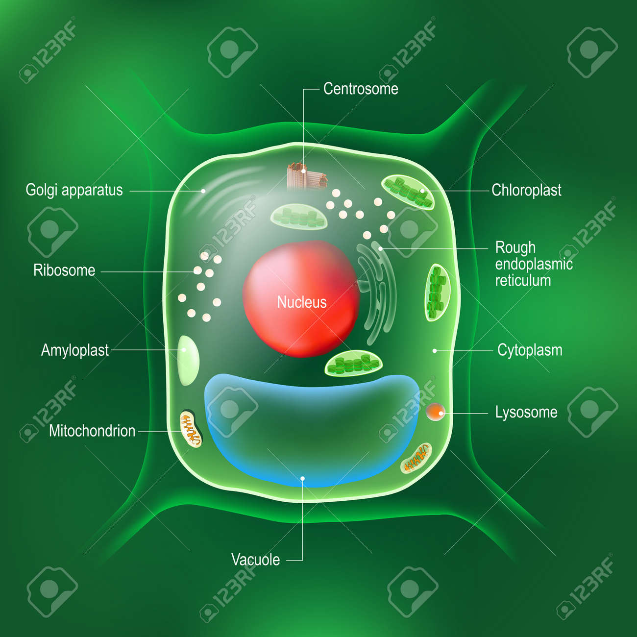 Anatomy of plant cell. All organelles: Nucleus, Ribosome, Rough endoplasmic reticulum, Golgi apparatus, mitochondrion, amyloplast, vacuole, chloroplast, cytoplasm, lysosome, Centrosome. cell on the green background. - 172585698