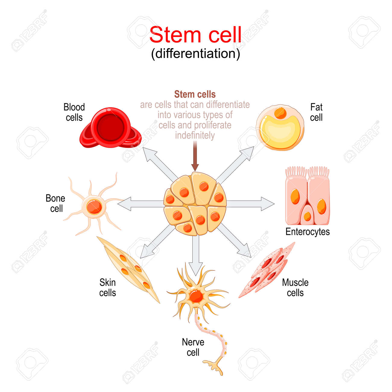 Stem cell differentiation. Stem cells are cells that can differentiate into various types of cells and proliferate indefinitely. - 173454200