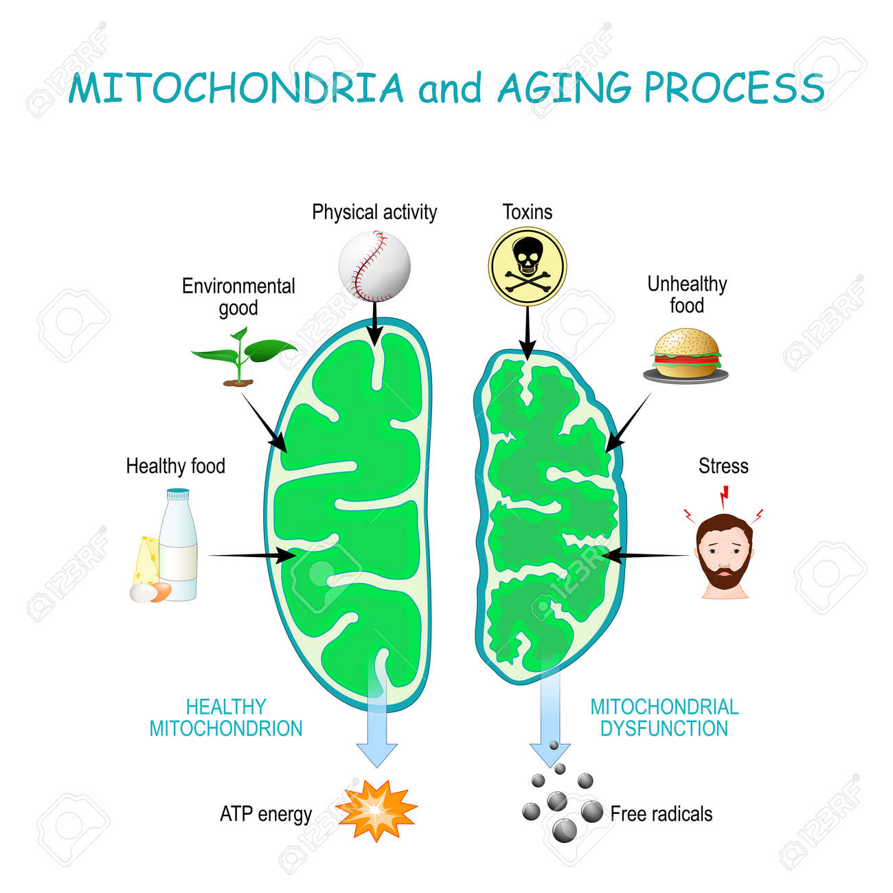 Mitochondria and aging process. Healthy Mitochondrion are produce of Atp energy, cell organelles with Dysfunction produce of Free radicals. - 173872205