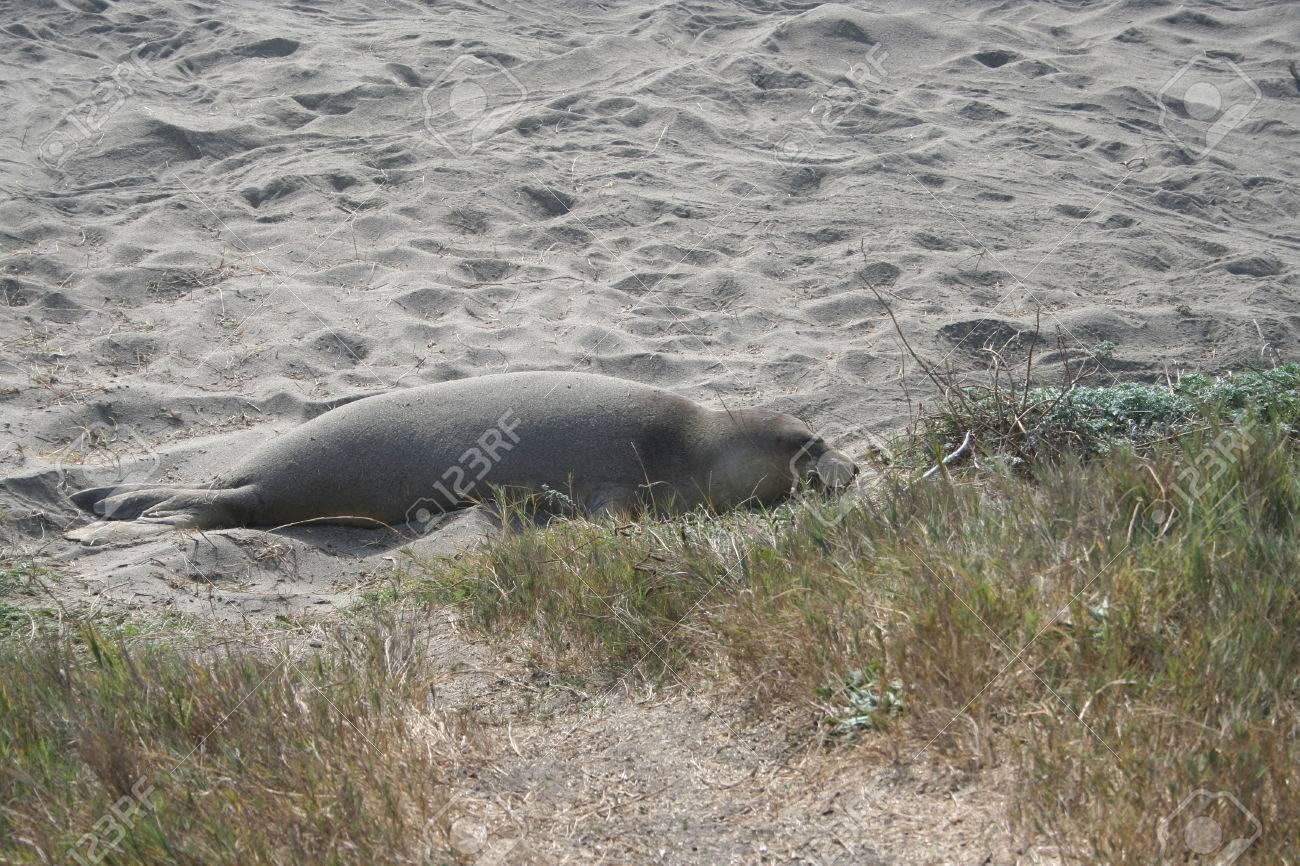 Baby Elephant Seal On Sandy California Beach Fotos, Retratos ...