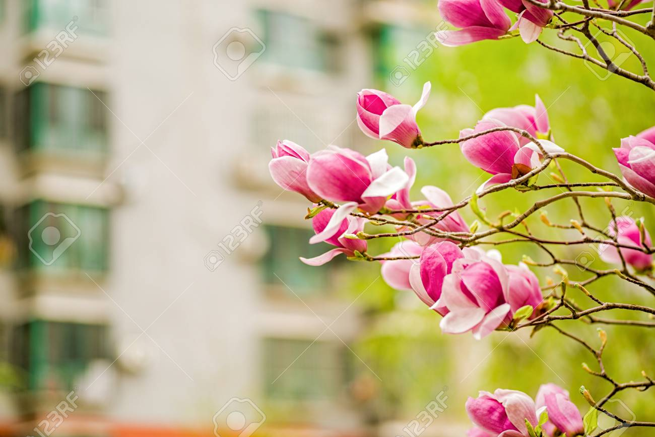 White Pink And Purple Chinese Magnolia Flowers On A Tree On Stock