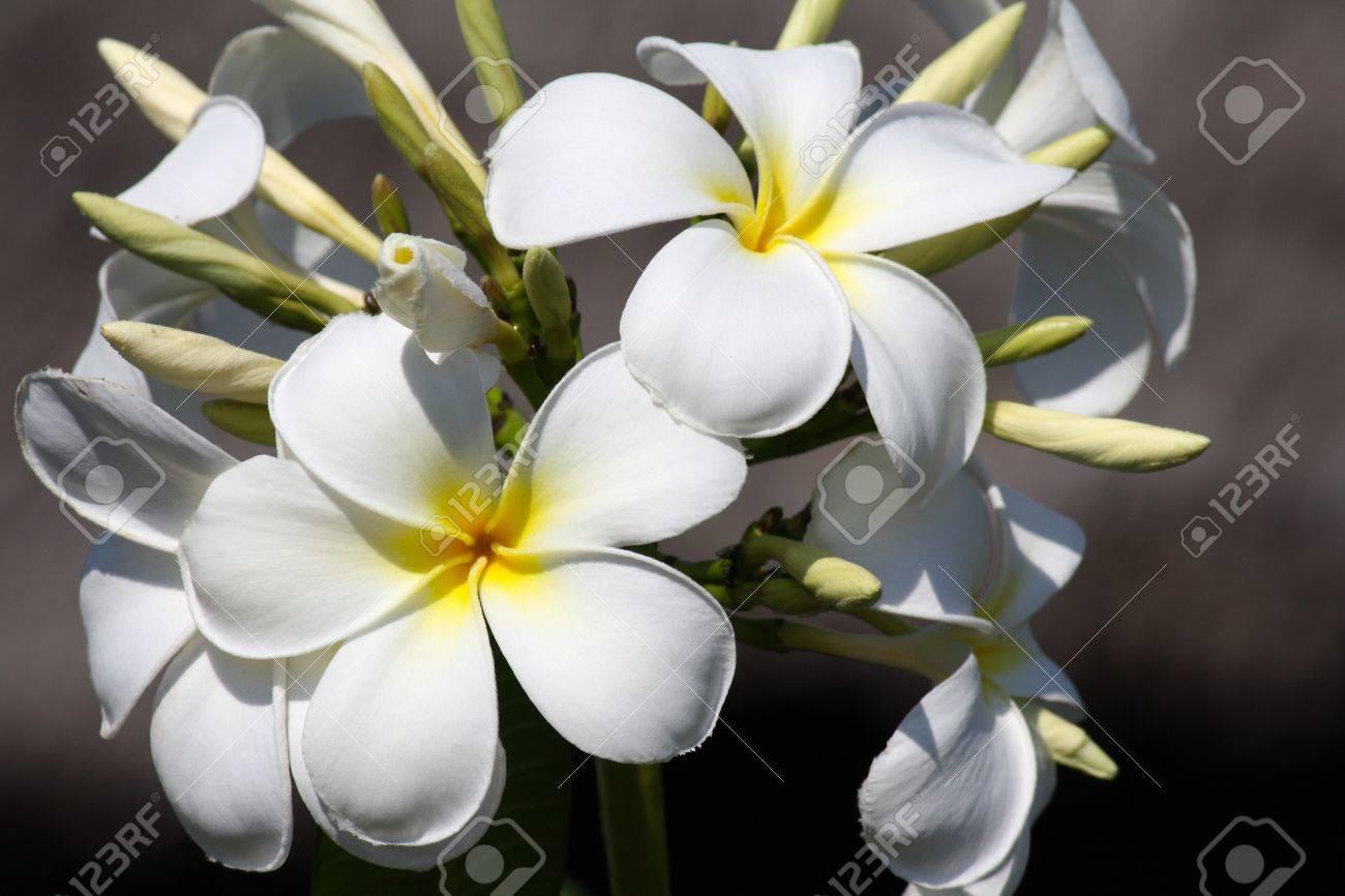 Fleur Frangipane A Zanzibar Par Une Journee Ensoleillee Banque D