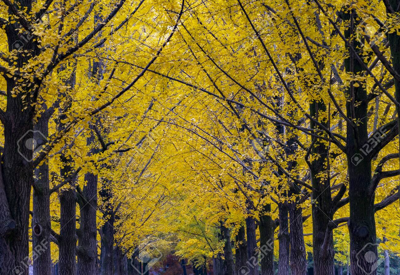 Yellow Leaves of Ginkgo in Autumn at at Nami Island South korea. - 150275392