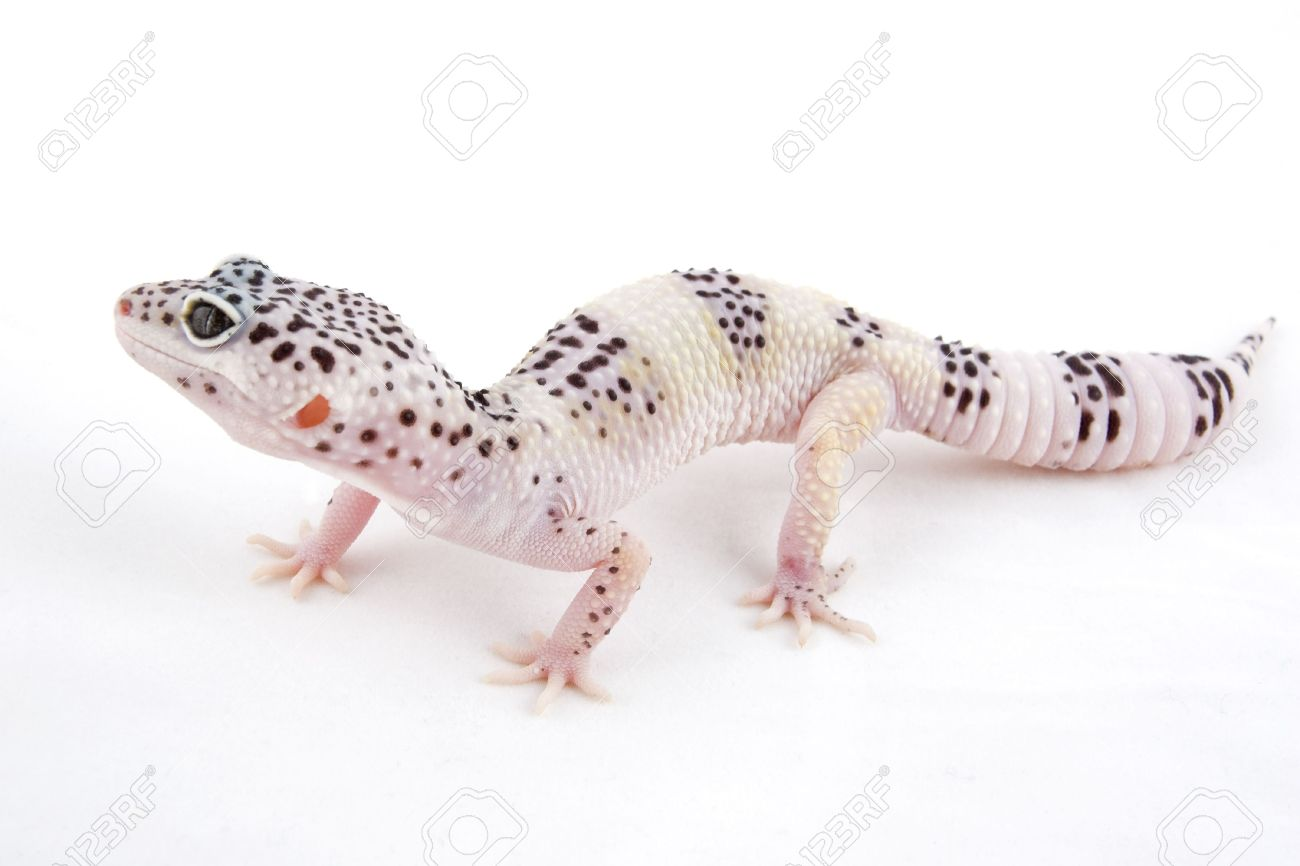 Male MACK Snow Albino Leopard Gecko isolated on white background