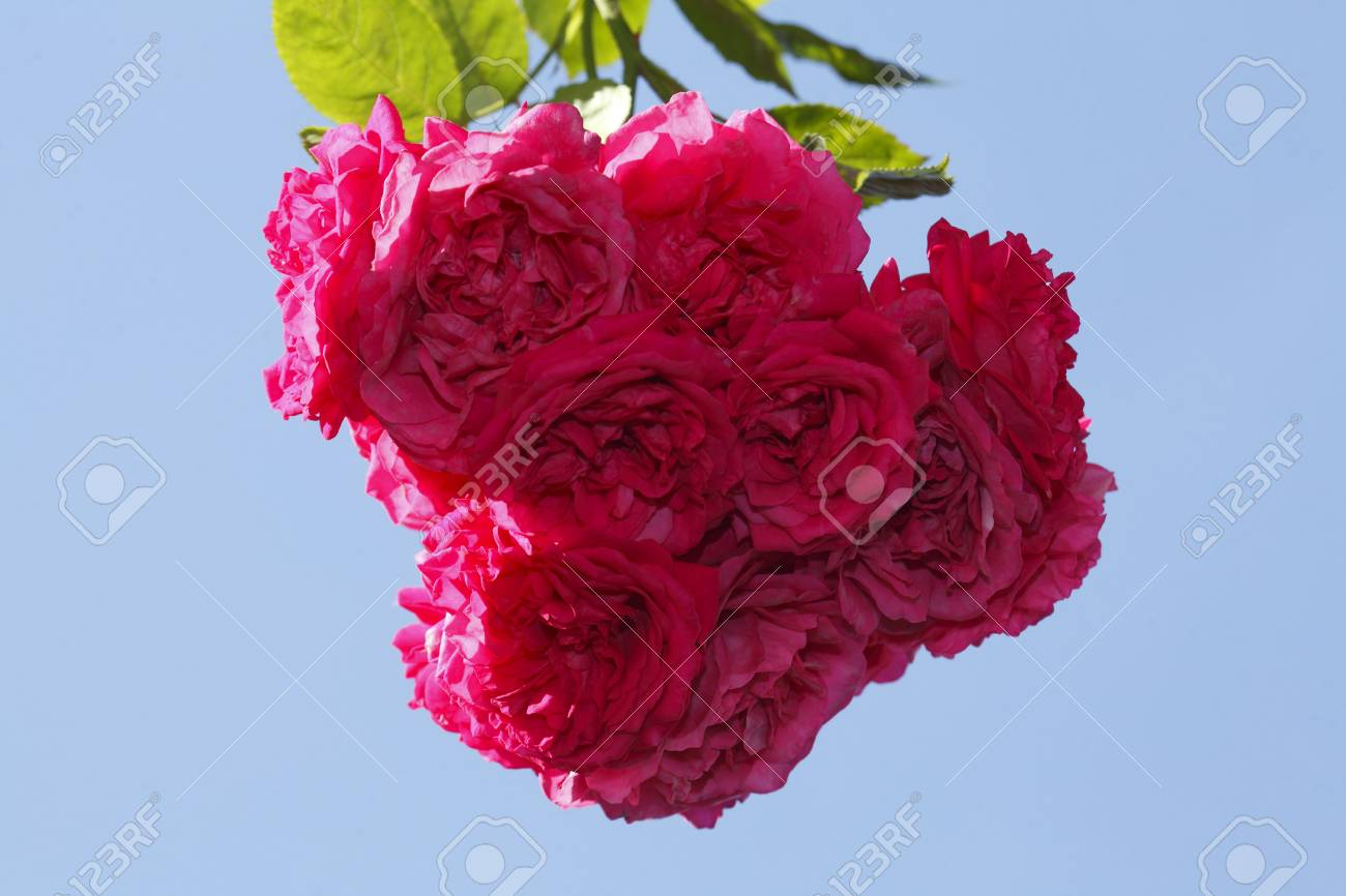 Blossoming Purple Colored Roses Flowers Stock Photo, Picture And ...