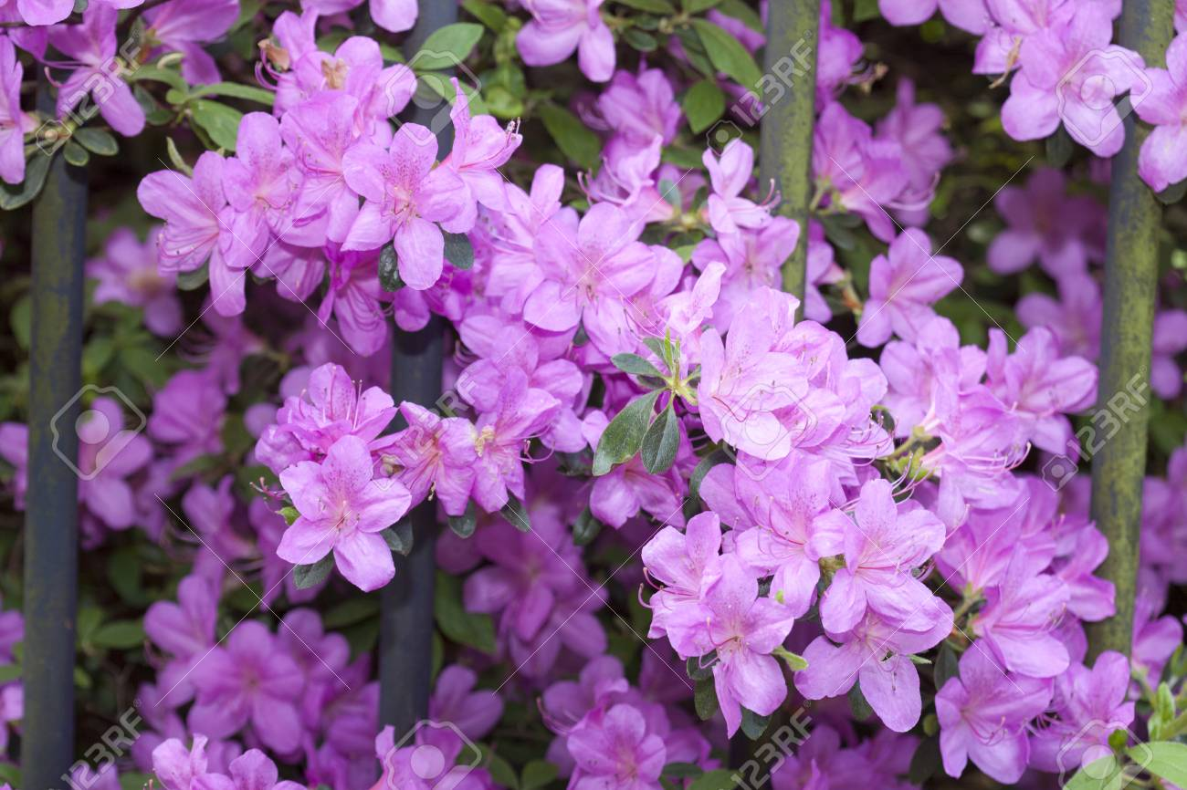 Violet Rhododendron Blossom Flowers In Spring Stock Photo Picture