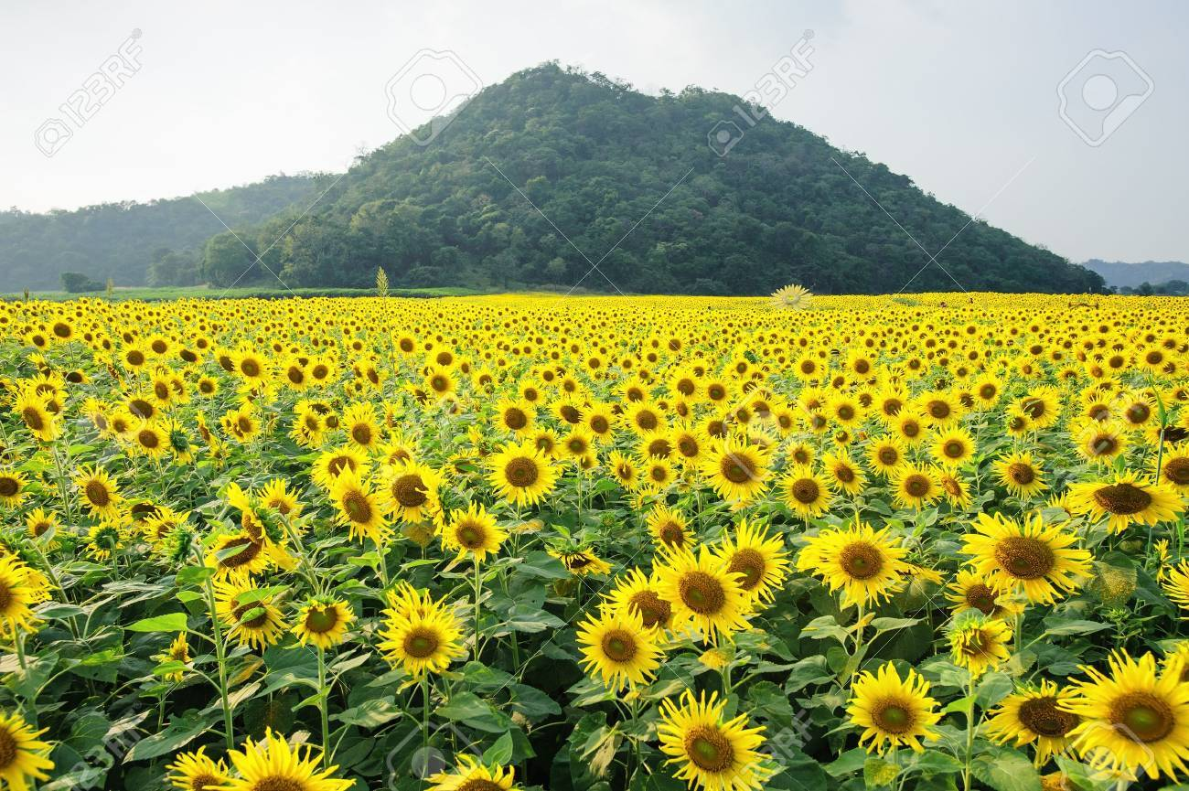 2b53f68ef0dec8 Sunflower Garden And Mountain Stock Photo, Picture And Royalty Free ...