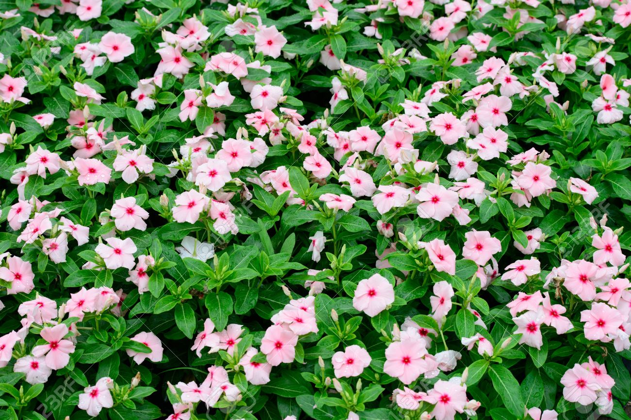 Pink Periwinkle Flower Stock Photo Picture And Royalty Free Image