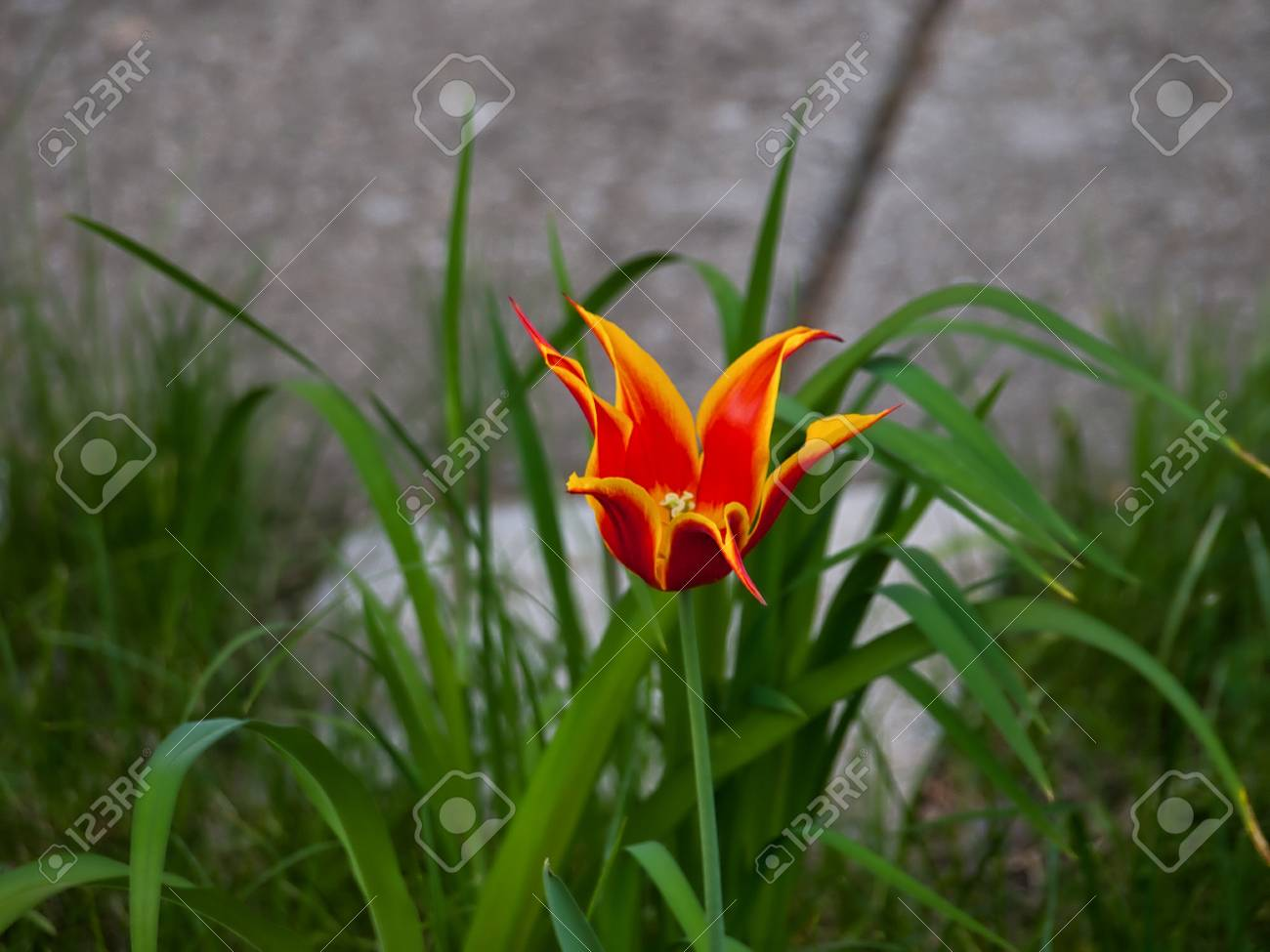 Red And Orange Tulip Flower With Yellow Tips Stock Photo Picture