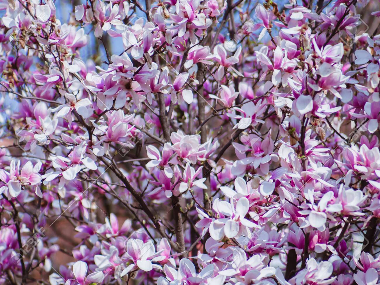 Beautiful Japanese Magnolia Tree In Full Bloom Pretty Pink