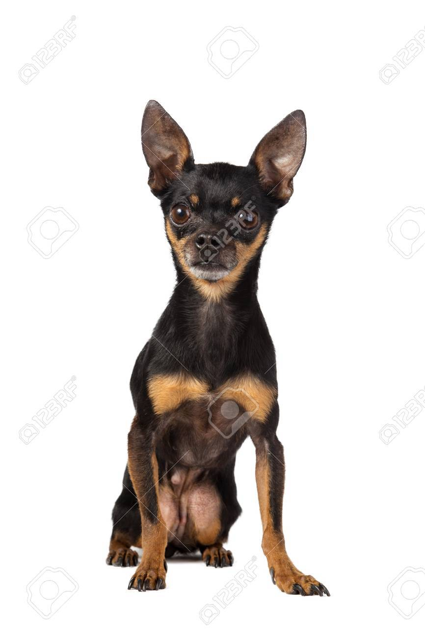 Pocket Dog Stock Photo Picture And Royalty Free Image Image 50219901