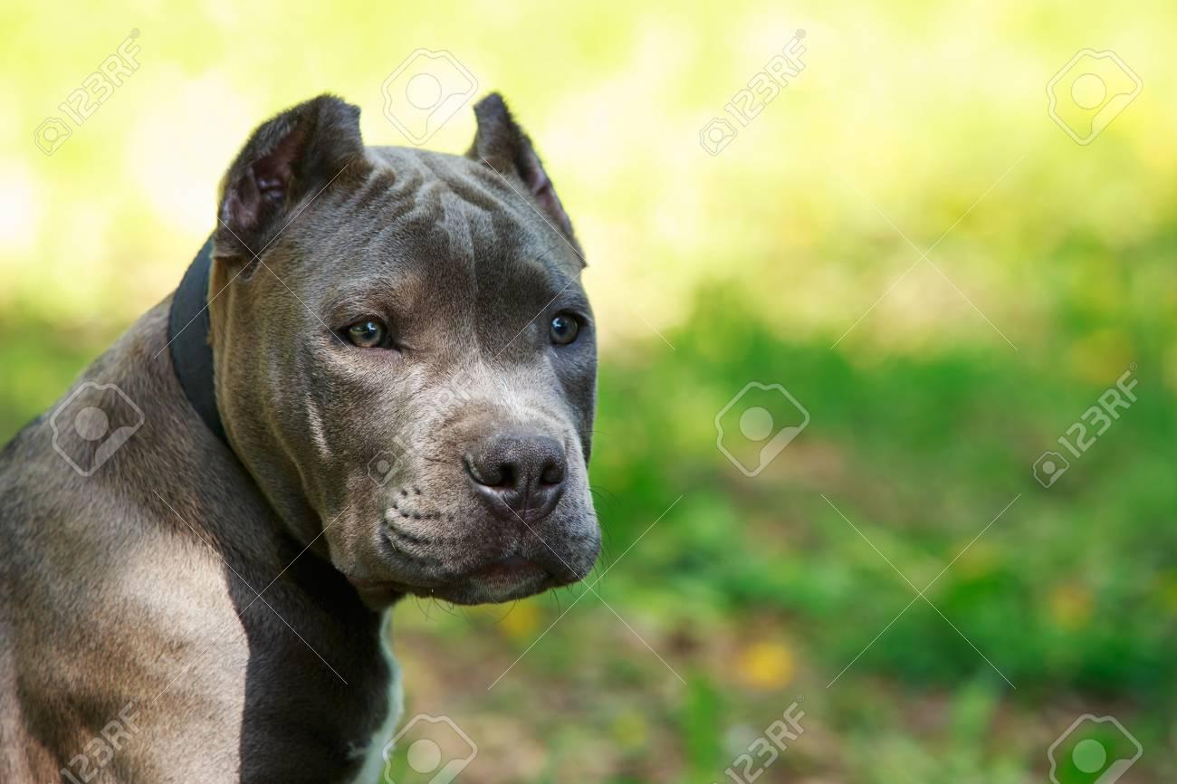 american stafford blue