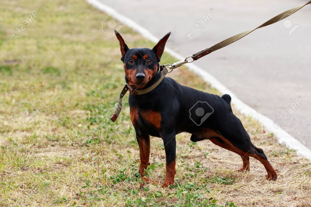 Dog Breeds Mini Pinscher In Autumn On Green Grass Stock Photo