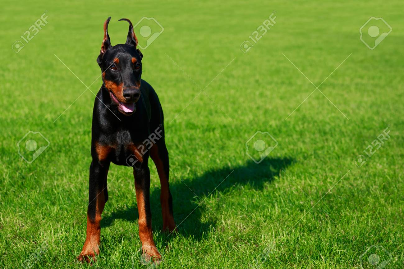 Young Puppy Dog Breed Doberman Pinscher Stands On The Background Of