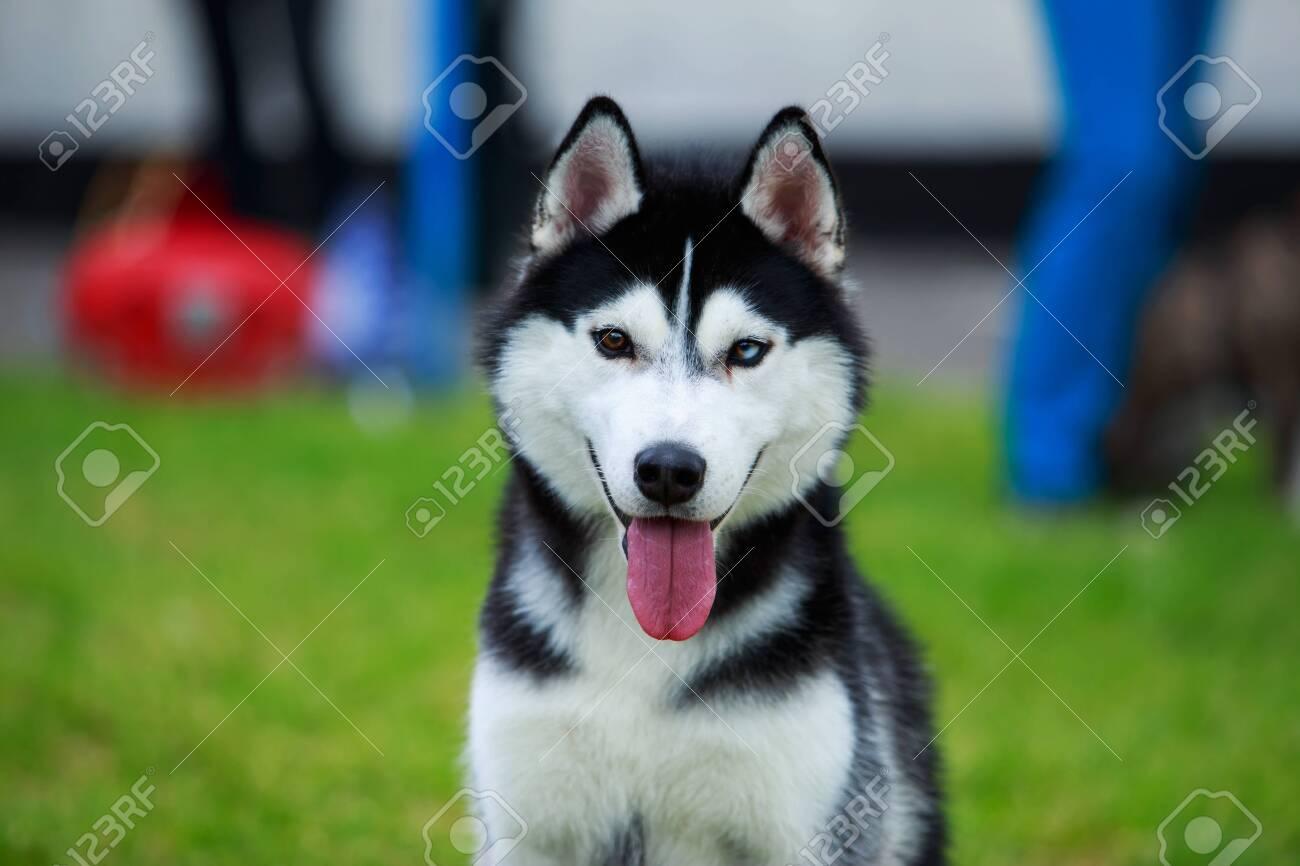 Portrait of a Siberian Husky breed dog close up