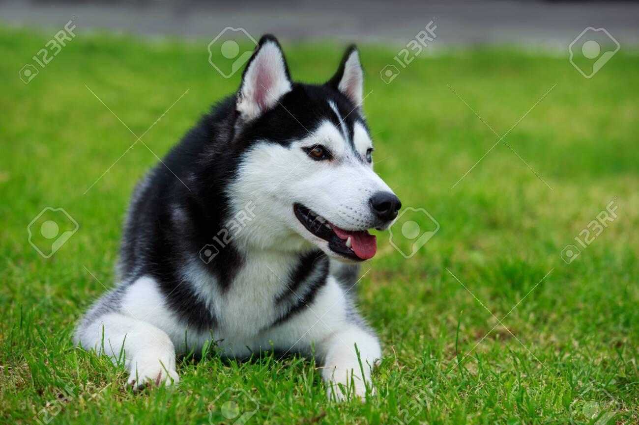 Dog breed Siberian Husky lying on the green grass - 126017036