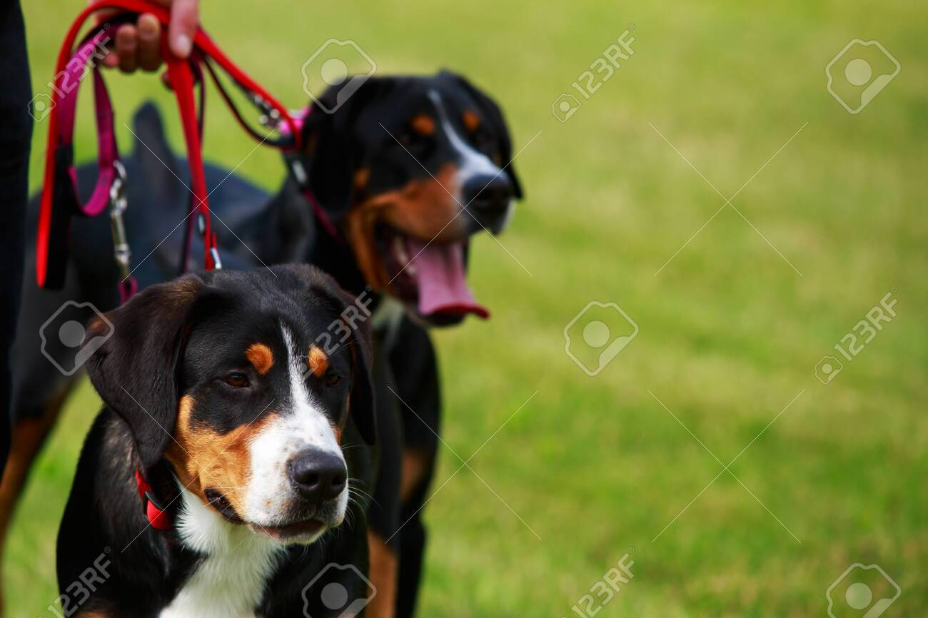 Two Dogs Of The Breed Appenzeller Sennenhund Close Up On Green