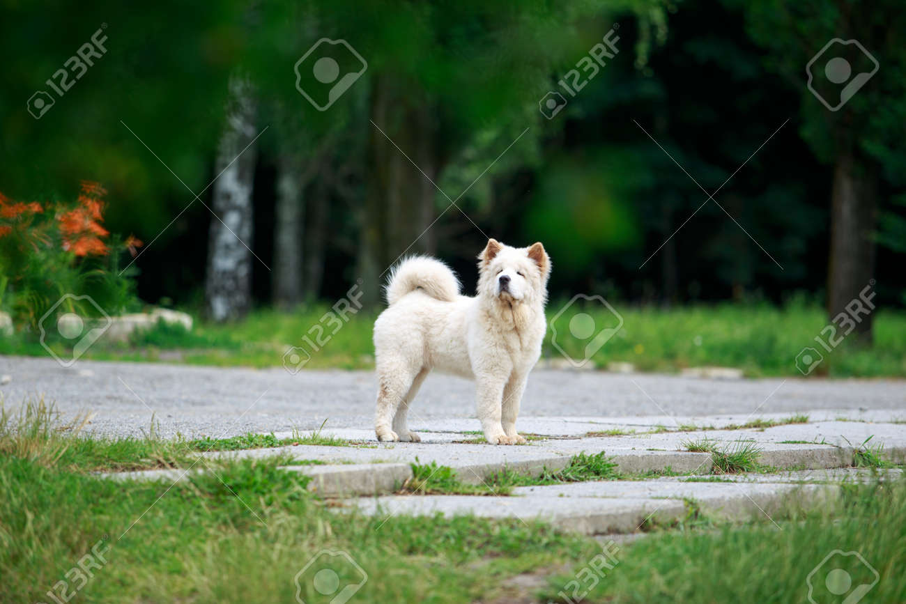 Dog breed chow chow for a walk in the park - 155346244