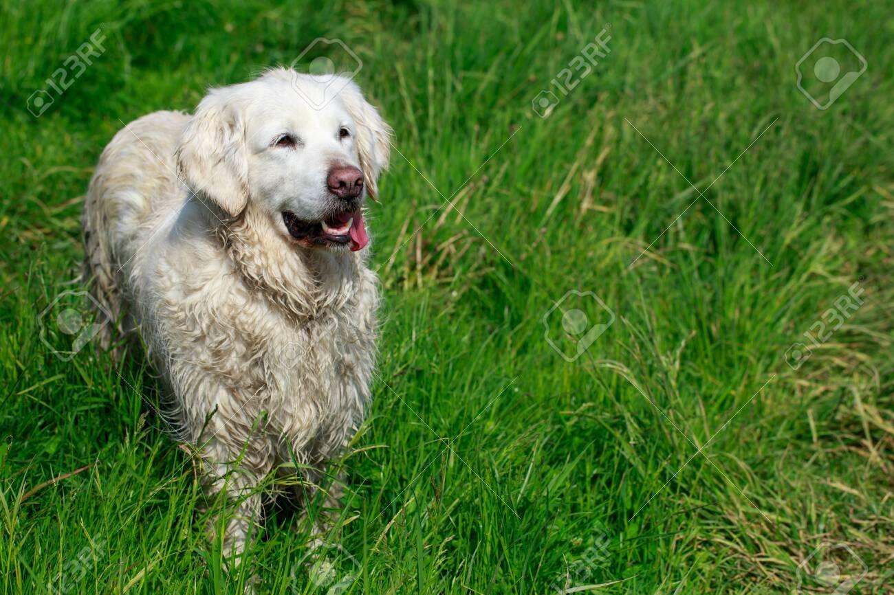 Dog breed golden retriever on green grass - 155346645