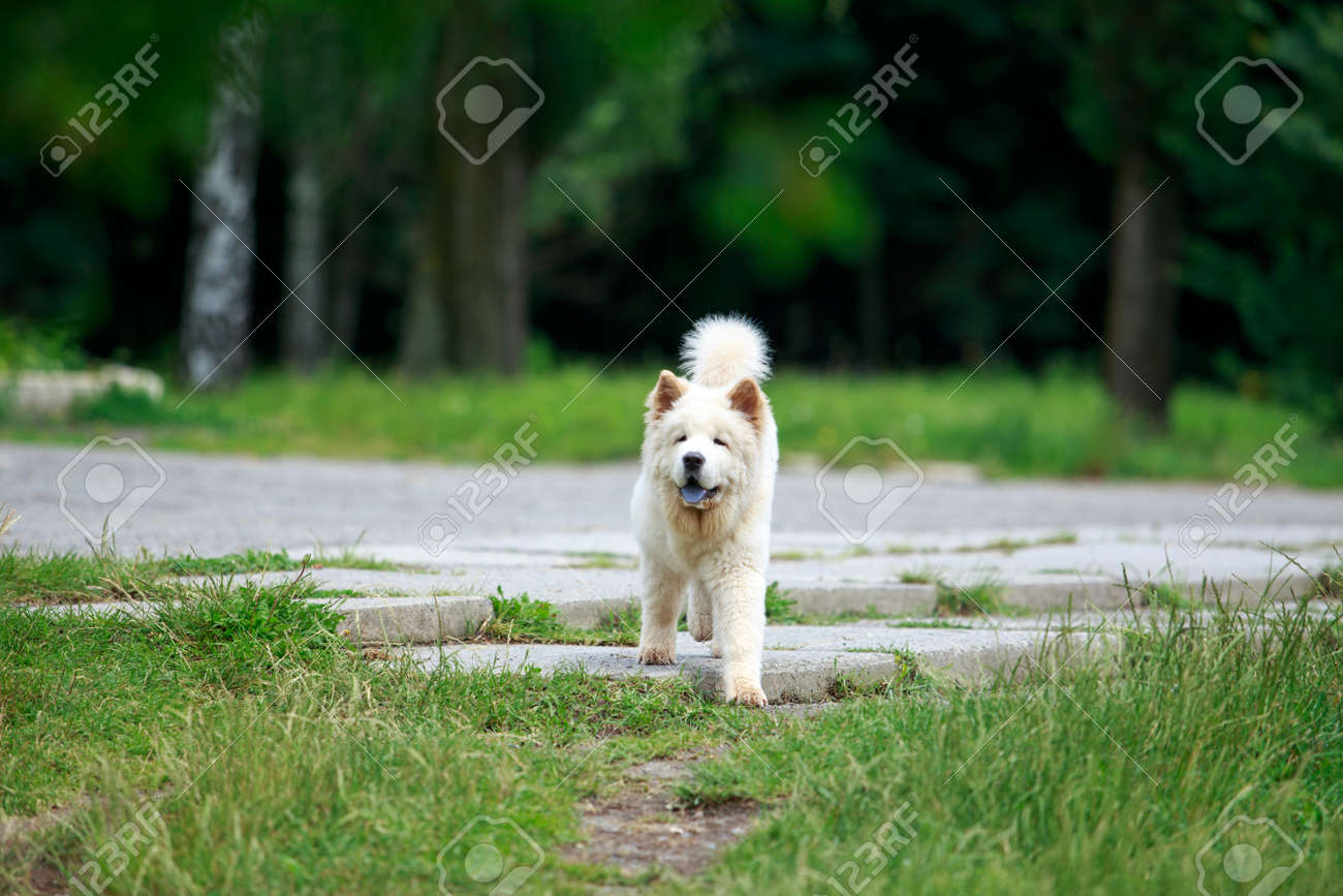Dog breed chow chow for a walk in the park - 155346668