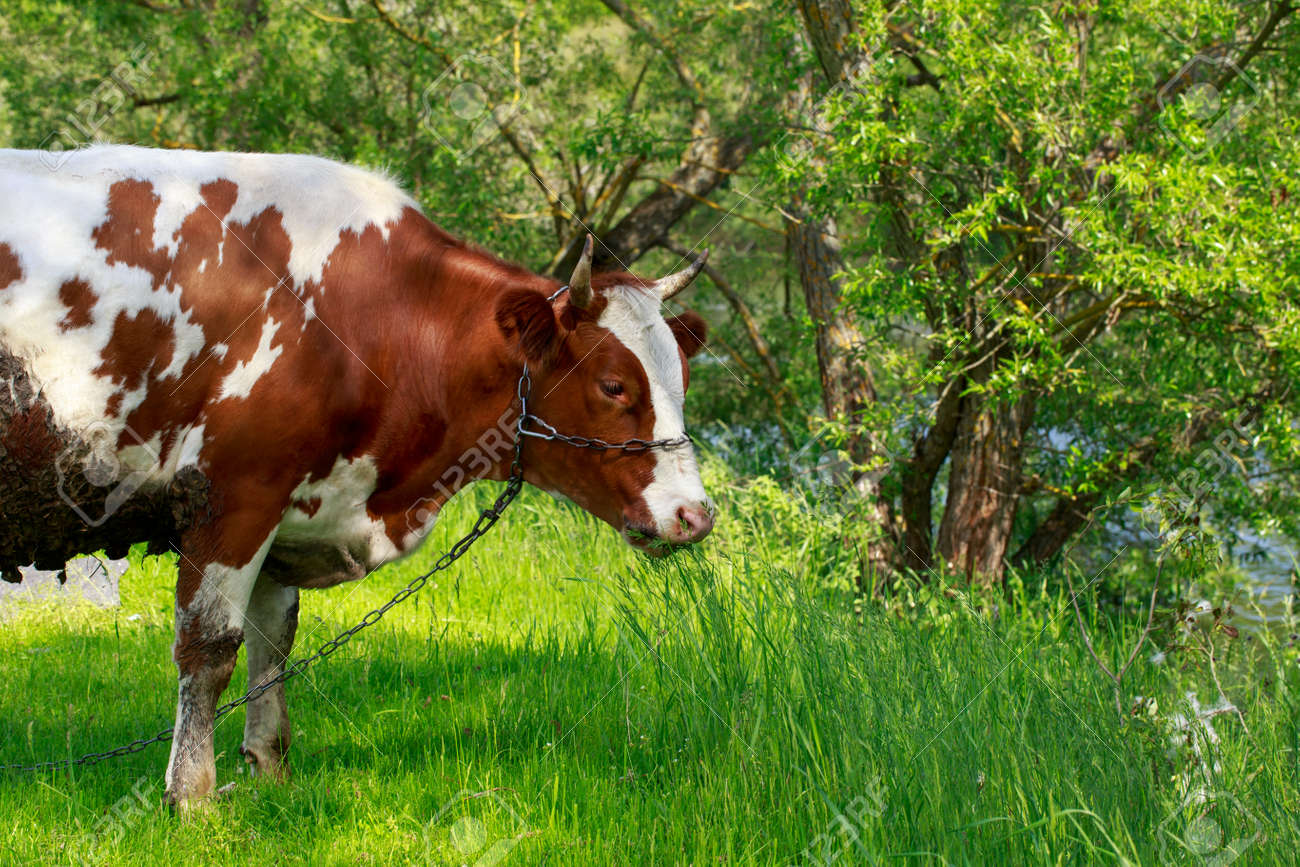 The cow grazes in a green meadow - 155422227