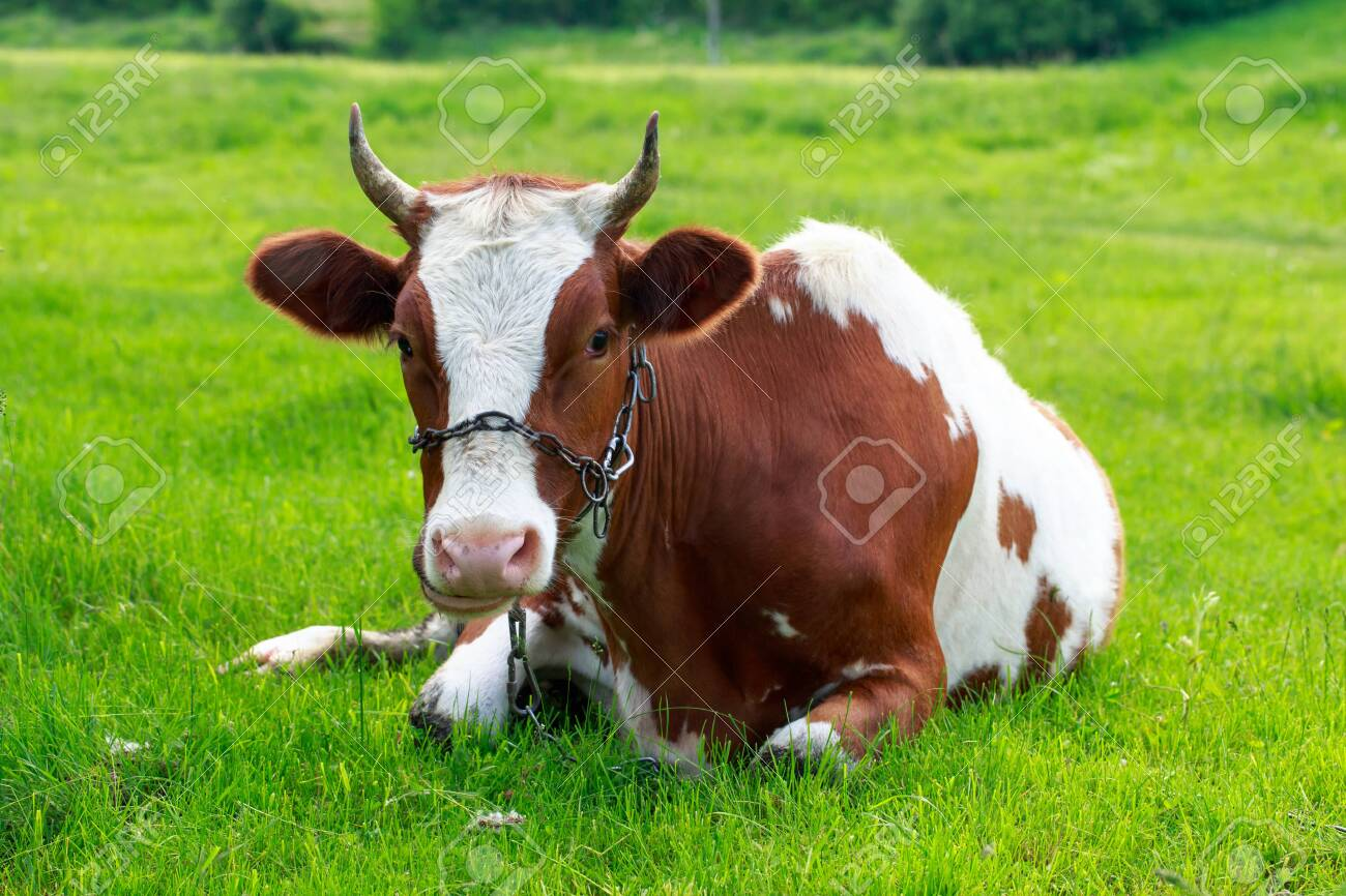 Beautiful young cow on a background of green grass - 155422641