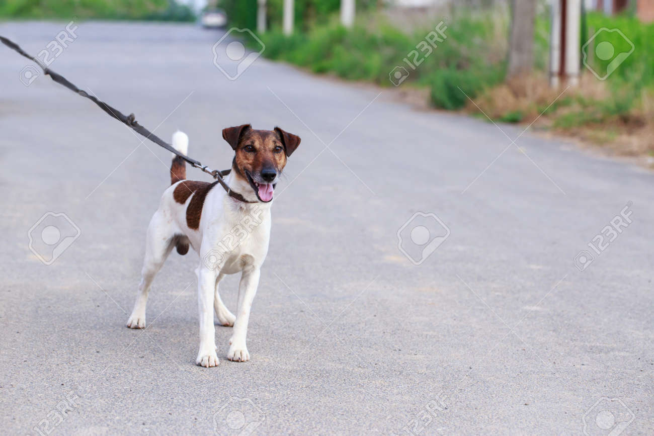 Dog breed smooth-haired fox terrier in the open air - 156313751