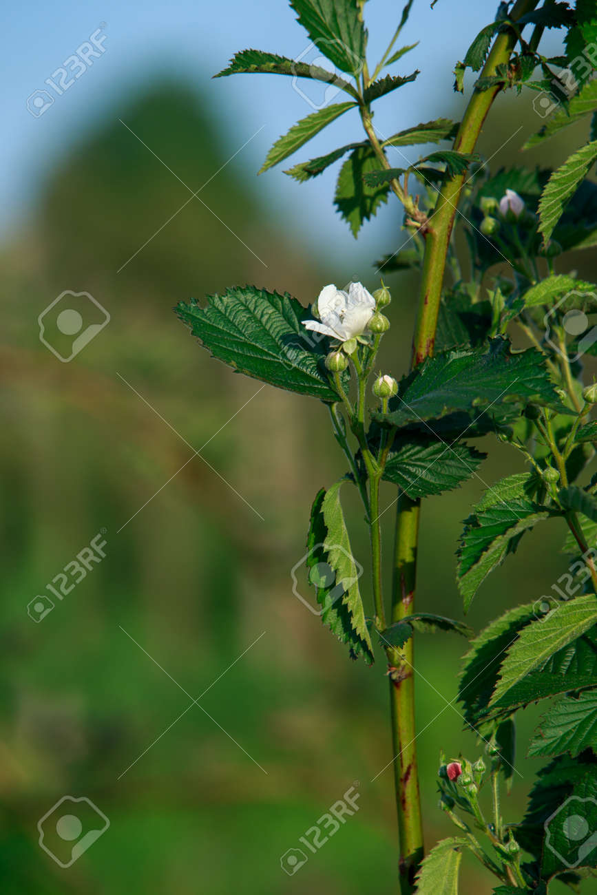 Flowers of dewberry in the summer day - 155779007