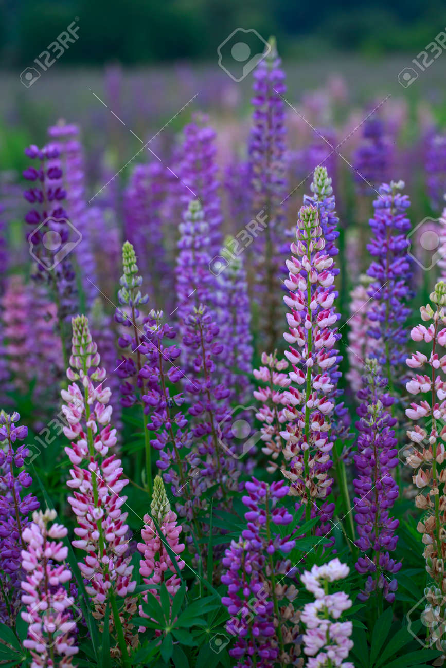 Beautiful bright lupine flowers on the field - 155778750