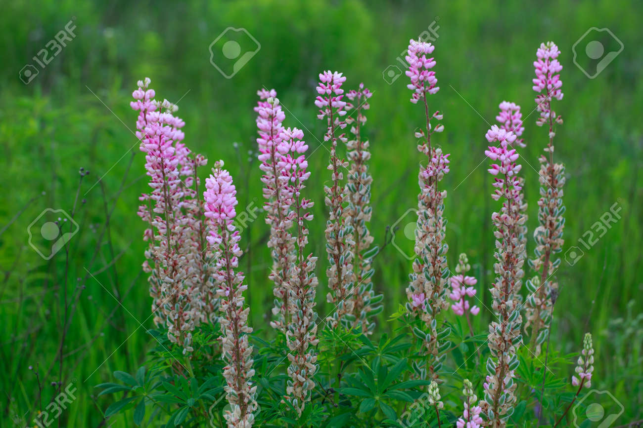 Beautiful bright lupine flowers on the field - 155778482