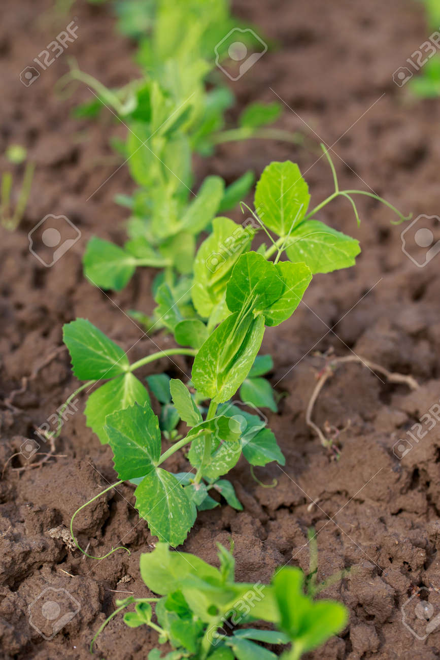 Young sprouts of peas on the soil - 155787322