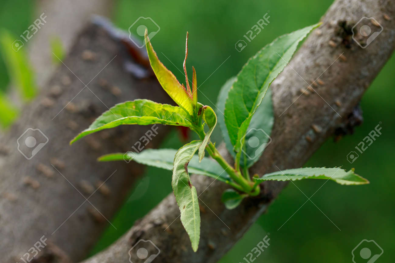 Peach leaf curl close up on a summer day - 155780409