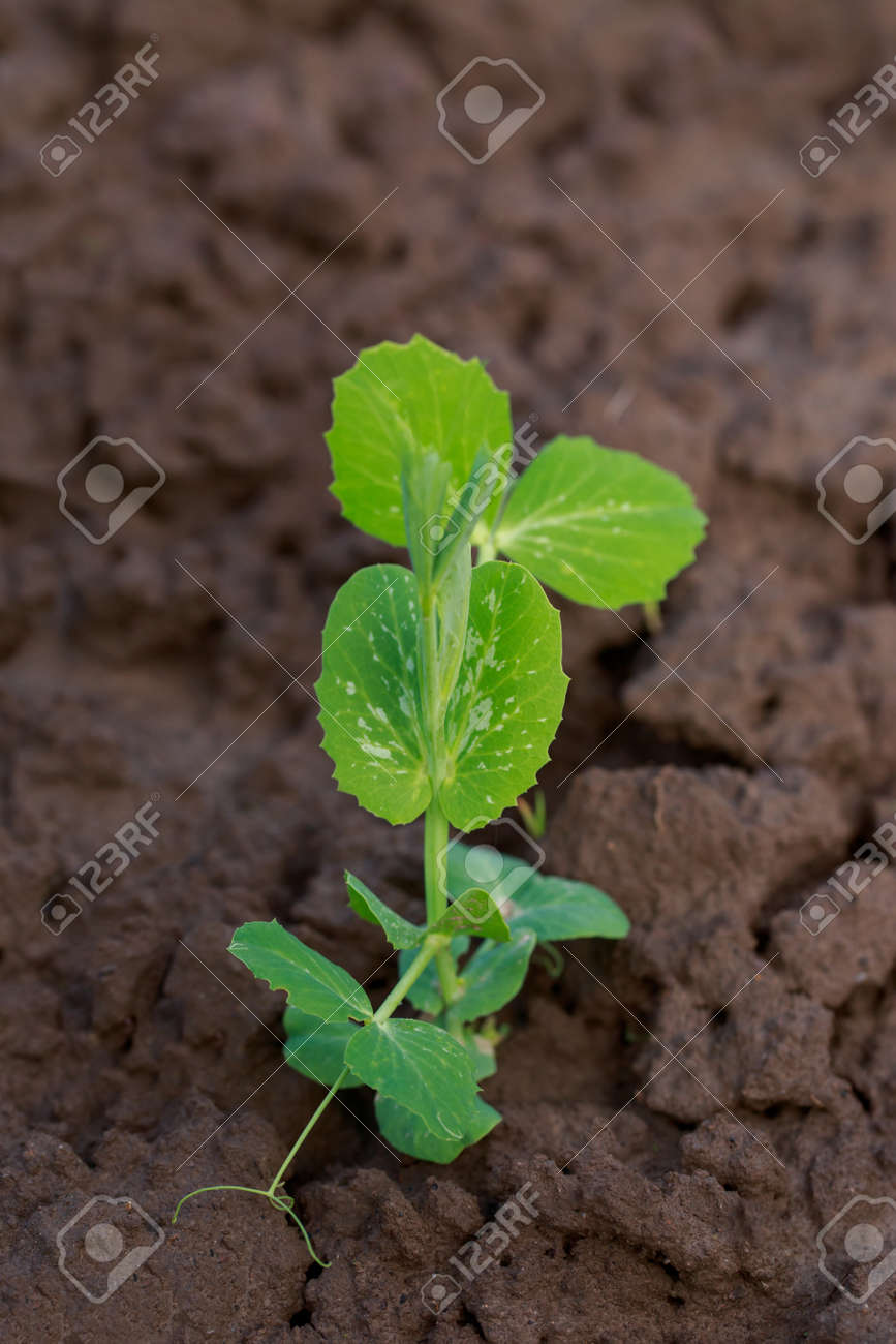 Young sprouts of peas on the soil - 155786936