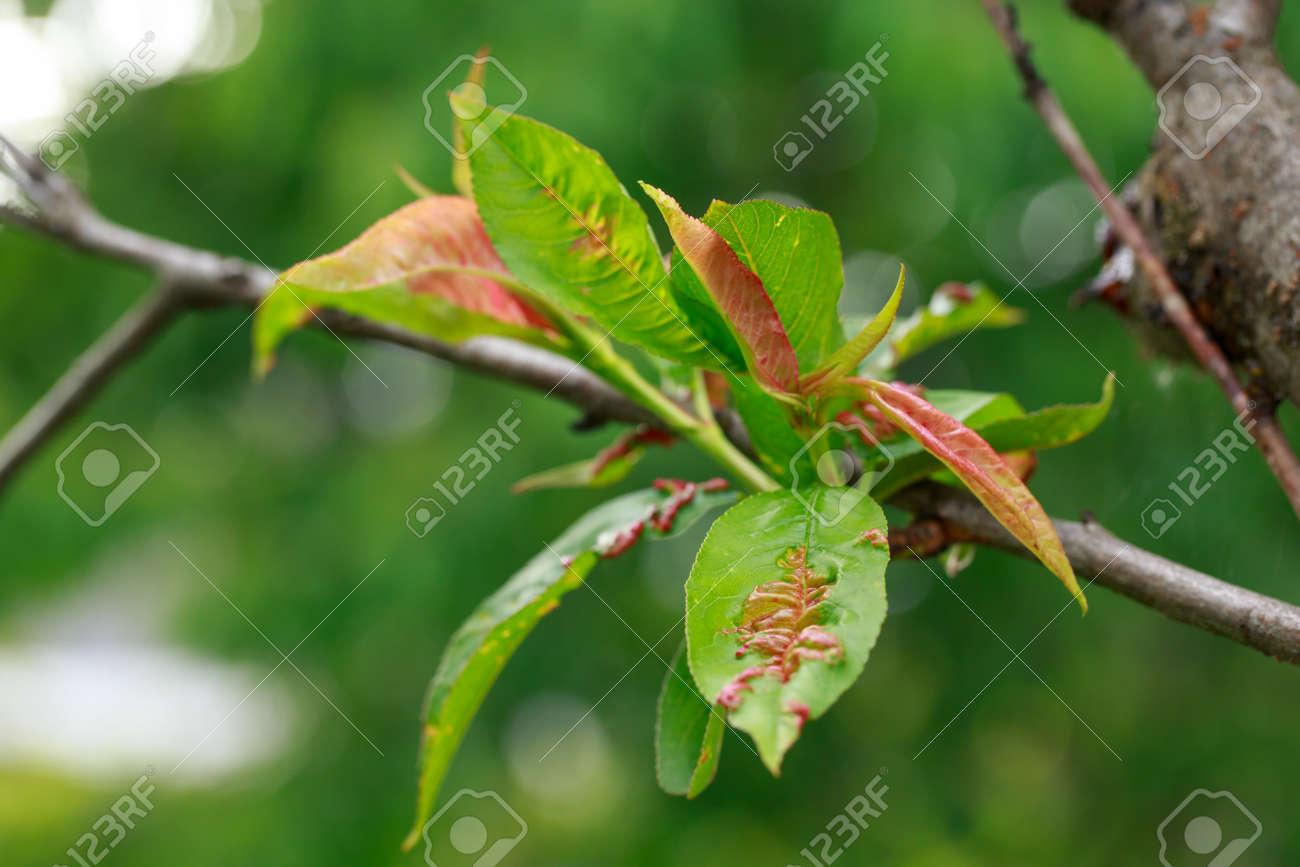 Peach leaf curl close up on a summer day - 155780129