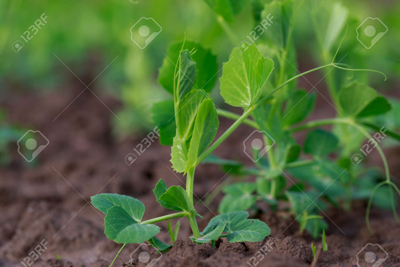 Young sprouts of peas on the soil - 155780488